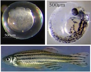 Composite of three fish images in various stages of embro development.